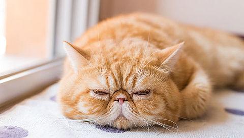 NVWA geeft kattenfokkers waarschuwing