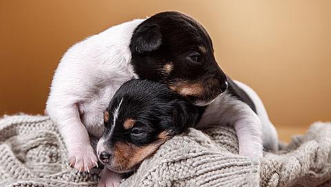 Mannen veroordeeld voor zwendel met puppy's