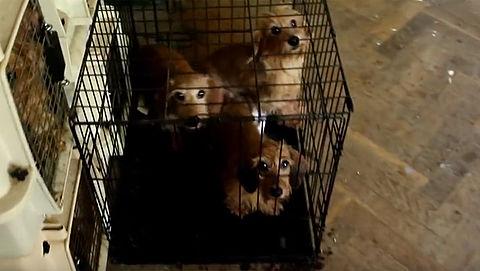 Video: 106 honden weggehaald bij teckelfokkers in Hongarije