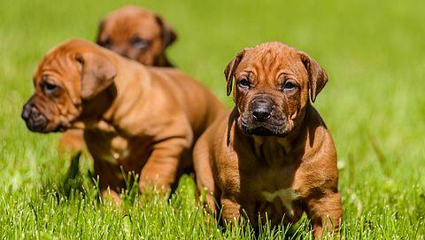 Nieuwe regels voor hondenfokkerijen