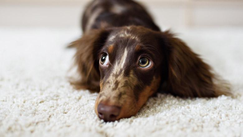 Teckelfokkers doen afstand van honden