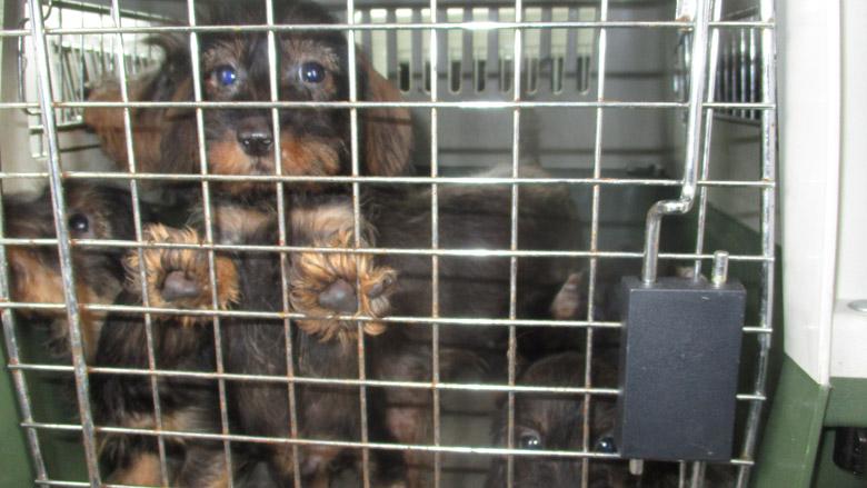 Teckelfokkers uit Woerden krijgen voorwaardelijke celstraf, een boete en een beroepsverbod